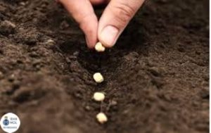 کاربرد آب اکسیژنه در کشاورزی (به جوانه زنی بذر ها کمک می کند)